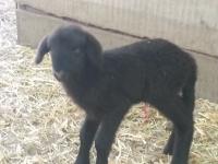 Fekete bárányka